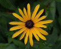 Black Eyed Susan - PhotoDune Item for Sale