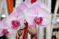 Macro of Orchid flowers. - PhotoDune Item for Sale