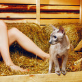 Peterbald Cat on Hayloft - PhotoDune Item for Sale