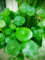 Centella asiatica - PhotoDune Item for Sale
