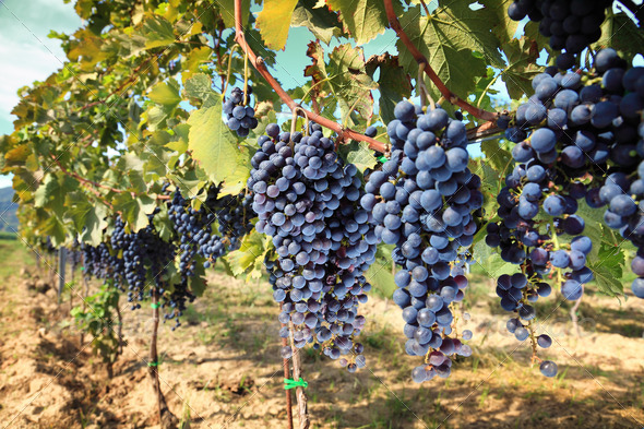 PhotoDune tuscany wine grapes 676119