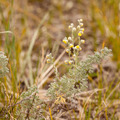 Wild Sage Wormwood Artemisia figida yellow flower - PhotoDune Item for Sale