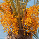 Date palm tree with unripe colorful fruit clusters - PhotoDune Item for Sale
