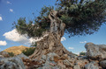 Ancient olive tree - PhotoDune Item for Sale