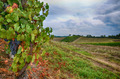 Vineyard in the Langhe - Italy - PhotoDune Item for Sale