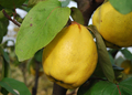 Quince - PhotoDune Item for Sale