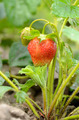 Fresh organic strawberries - PhotoDune Item for Sale