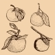 Tangerine Sketches - GraphicRiver Item for Sale