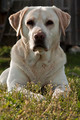Labrador retriever - PhotoDune Item for Sale