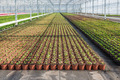 Cultivation of geraniums in a Dutch greenhouse - PhotoDune Item for Sale