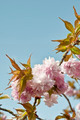 Cherry tree blossom - PhotoDune Item for Sale