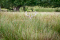 Fallow Deer - PhotoDune Item for Sale