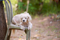 sad white dog sitting on a chair outdoor - PhotoDune Item for Sale