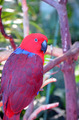 Colorful eclectus parrot - PhotoDune Item for Sale