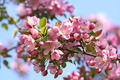 Pink apple blossoms - PhotoDune Item for Sale