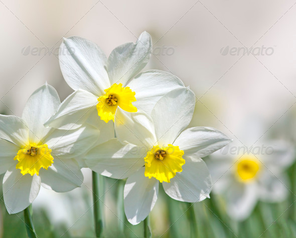 narcissus - Stock Photo - Images