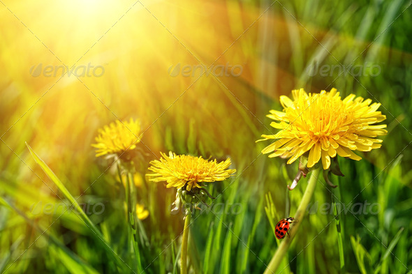 Big yellow dandelions in the tall grass - Stock Photo - Images