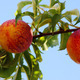 two peaches on tree - PhotoDune Item for Sale