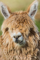 alpaca portrait peruvian Andes  Cuzco Peru - PhotoDune Item for Sale