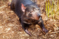 Tasmanian Devil - PhotoDune Item for Sale