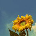 sunflower under blue sky - vintage retro style - PhotoDune Item for Sale