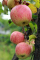 very tasty and ripe apples on the tree - PhotoDune Item for Sale