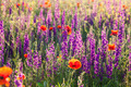 Field of violet lavender and red poppy flowers - PhotoDune Item for Sale