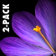 Rain of Flowers - Blue Crocus - Pack of 2 - VideoHive Item for Sale