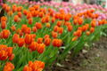 Colorful tulip flower in the garden. - PhotoDune Item for Sale