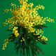 Mimosa Acacia Dealbata - PhotoDune Item for Sale