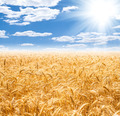 Gold wheat field and blue sky - PhotoDune Item for Sale