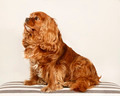 King Charles Cavalier - PhotoDune Item for Sale