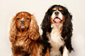 Two Kings Charles Cavaliers - PhotoDune Item for Sale