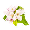 Apple blossom isolated - PhotoDune Item for Sale