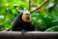 White-faced Saki Monkey - PhotoDune Item for Sale