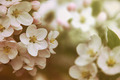 Closeup of apple blossom flowers with vintage color filters - PhotoDune Item for Sale