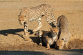 Cheetahs drinking water - PhotoDune Item for Sale