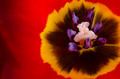 Tulip flower - PhotoDune Item for Sale