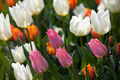 orange, pink and white tulip flower - PhotoDune Item for Sale