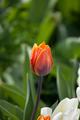 orange tulip flower - PhotoDune Item for Sale