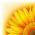 Background with sunflower - PhotoDune Item for Sale