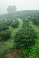 Tea field among mist in the morning at Doi Wavee, Thailand. - PhotoDune Item for Sale