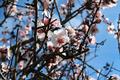 Almond Flower - PhotoDune Item for Sale