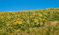 Field of Yellow Flowers from the National Bison Refuge in Montana USA - PhotoDune Item for Sale