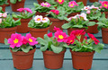 Pots of pink primroses - PhotoDune Item for Sale