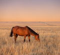 Horse grazing in evening pasture - PhotoDune Item for Sale