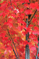 Bright Red Maple Tree - PhotoDune Item for Sale
