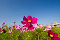 Cosmos bipinnatus - PhotoDune Item for Sale