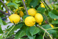 lemon tree - PhotoDune Item for Sale