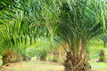 Oil Palm Plantation - PhotoDune Item for Sale